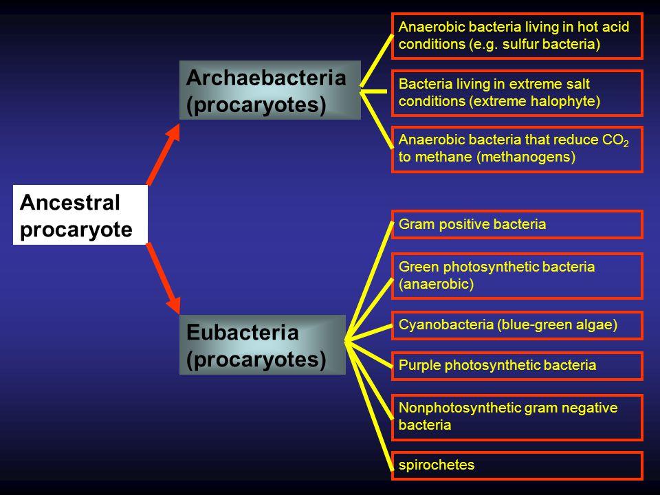 Archaebacteria (procaryotes)