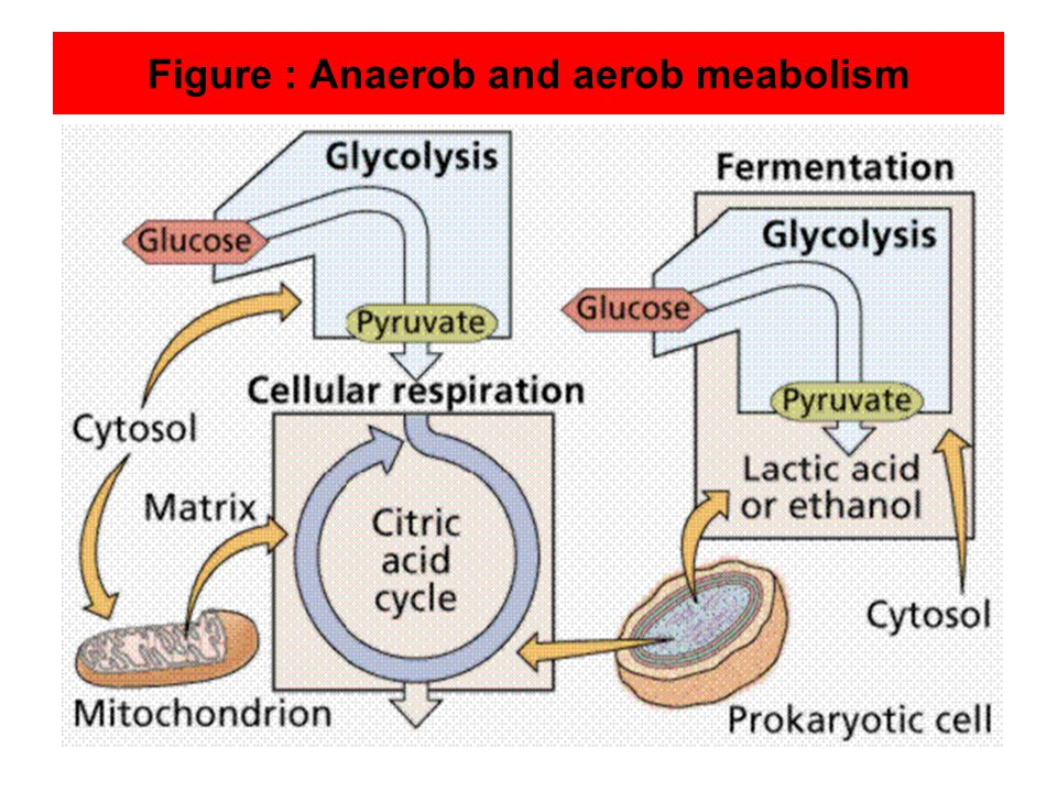 Figure : Anaerob and aerob meabolism