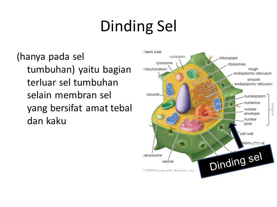 Dinding Sel (hanya pada sel tumbuhan) yaitu bagian terluar sel tumbuhan selain membran sel yang bersifat amat tebal dan kaku.