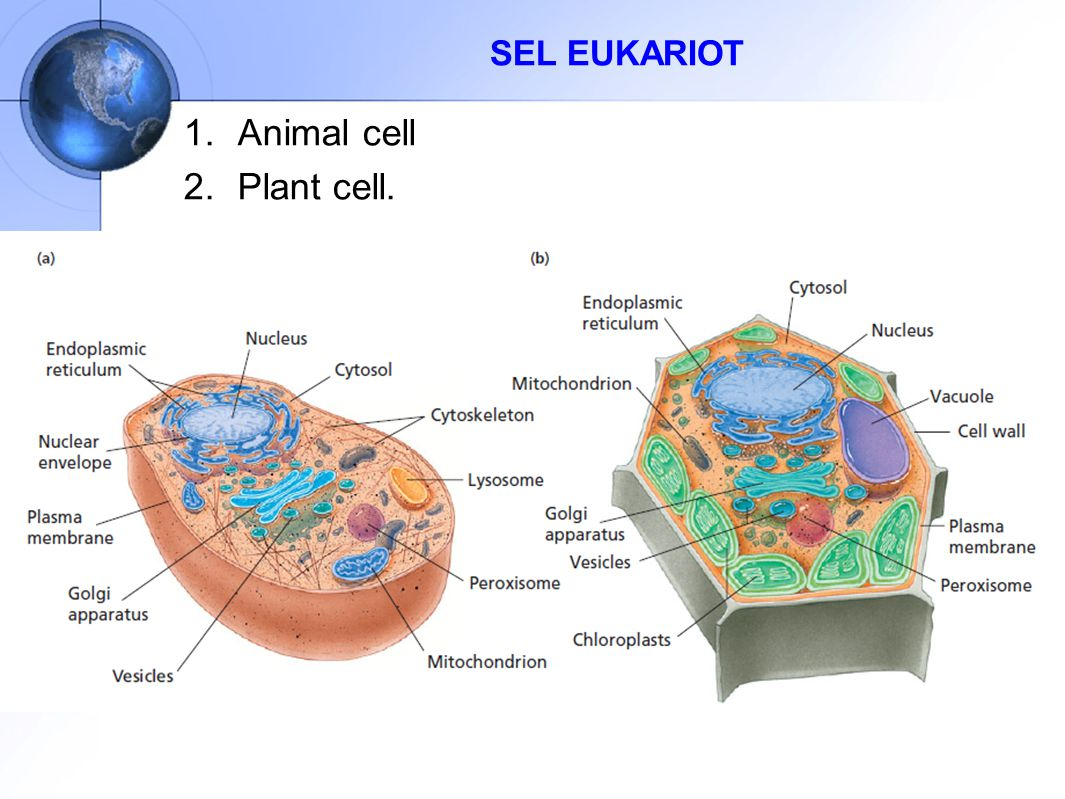 SEL EUKARIOT Animal cell Plant cell.