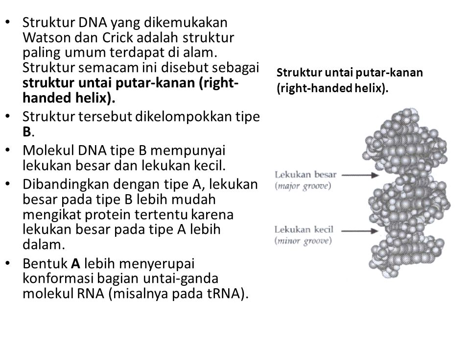 Struktur untai putar-kanan (right-handed helix).