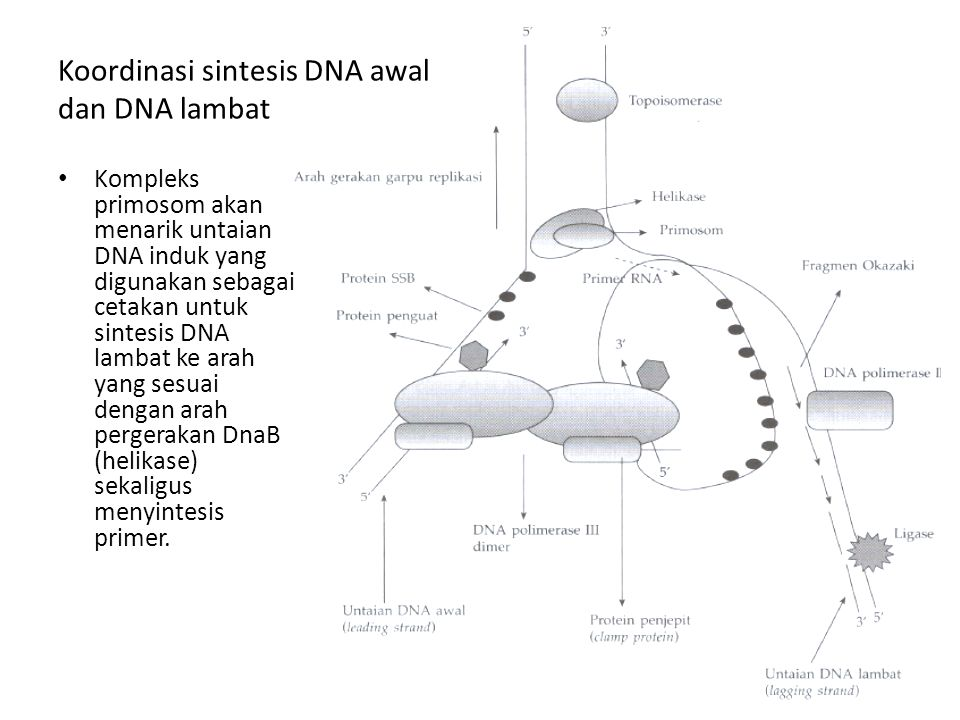 Koordinasi sintesis DNA awal dan DNA lambat