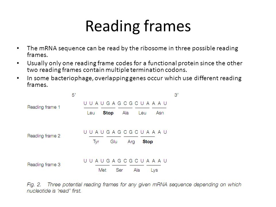 Reading frames The mRNA sequence can be read by the ribosome in three possible reading frames.
