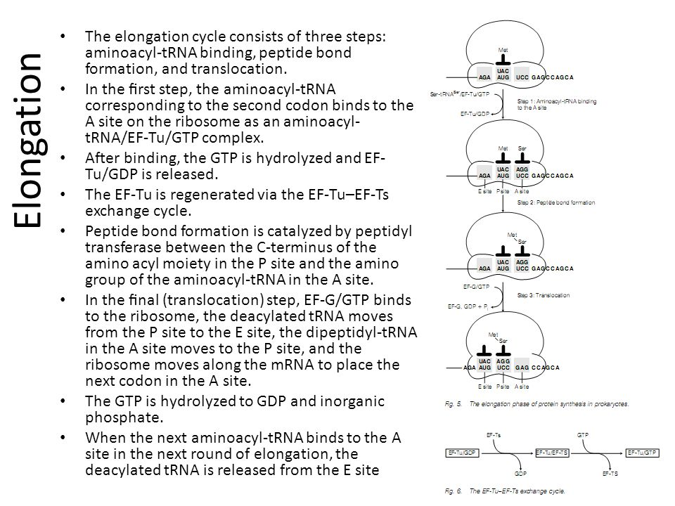 The elongation cycle consists of three steps: aminoacyl-tRNA binding, peptide bond formation, and translocation.