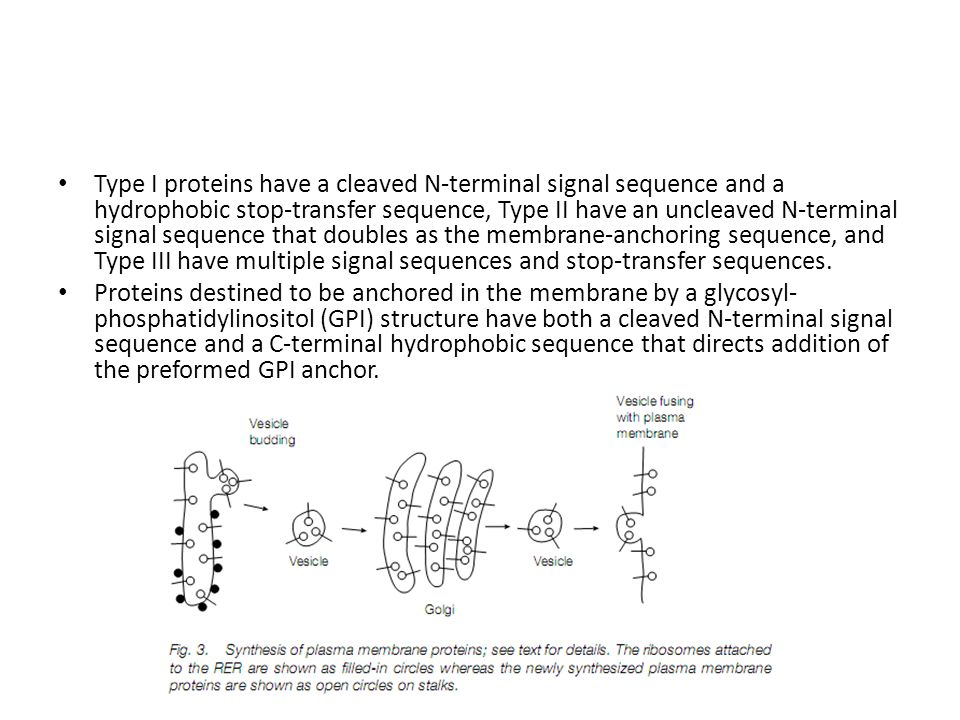 Type I proteins have a cleaved N-terminal signal sequence and a hydrophobic stop-transfer sequence, Type II have an uncleaved N-terminal signal sequence that doubles as the membrane-anchoring sequence, and Type III have multiple signal sequences and stop-transfer sequences.