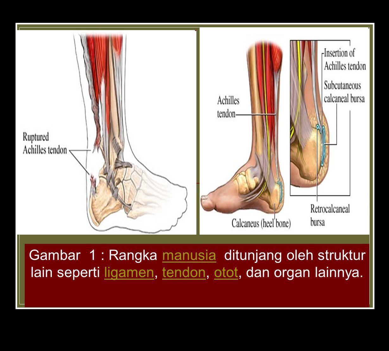 Gambar 1 : Rangka manusia ditunjang oleh struktur lain seperti ligamen, tendon, otot, dan organ lainnya.