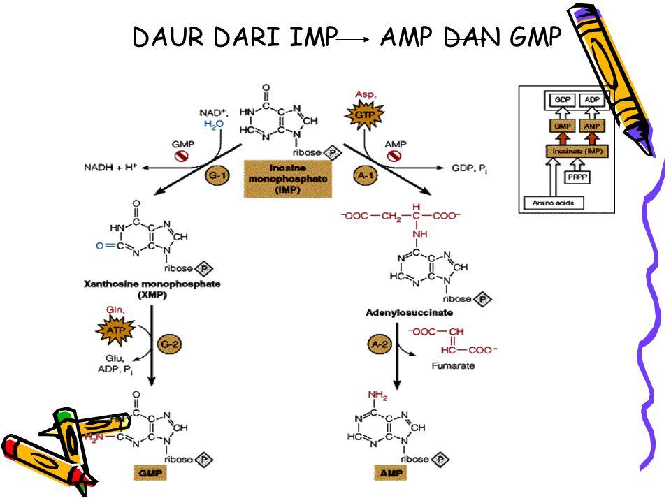 DAUR DARI IMP AMP DAN GMP