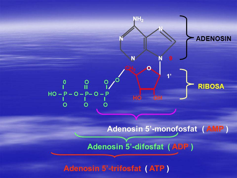 Adenosin 5'-monofosfat ( AMP )