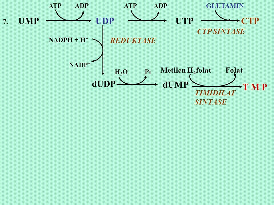 dUMP T M P CTP SINTASE REDUKTASE Metilen H4folat Folat