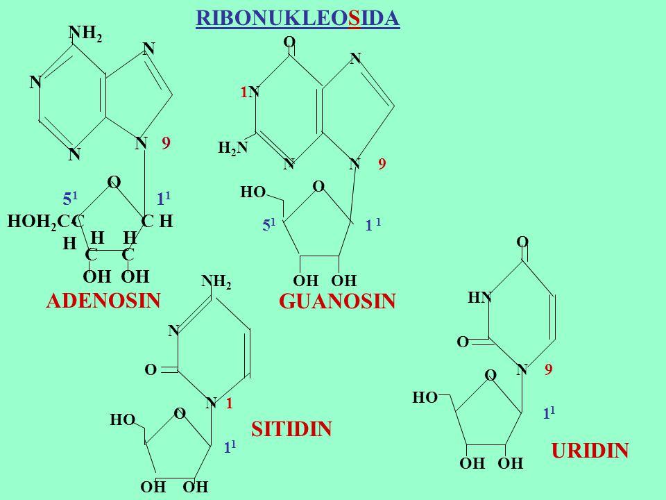 RIBONUKLEOSIDA ADENOSIN SITIDIN URIDIN NH2 N N 9 N O 51 11 HOH2C-