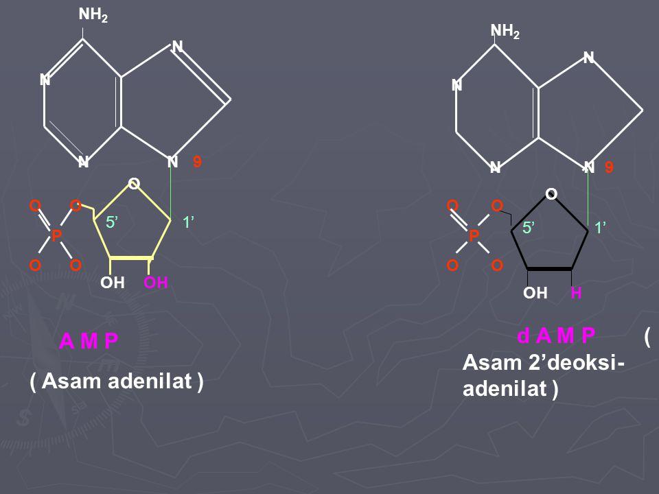 d A M P ( Asam 2'deoksi- adenilat ) A M P ( Asam adenilat )