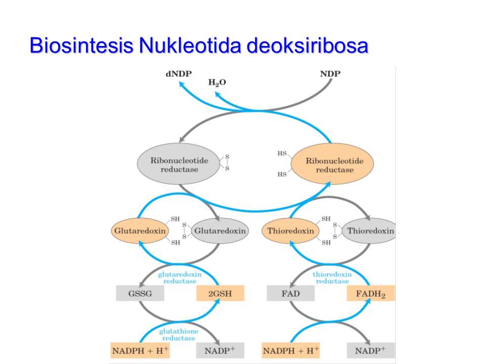 Biosintesis Nukleotida deoksiribosa