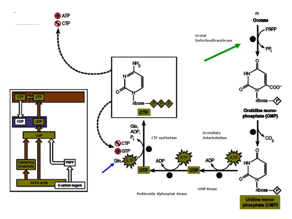 Orotat fosforibosiltransferase