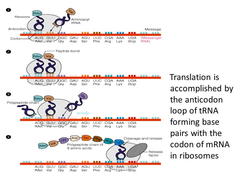 Translation is accomplished by the anticodon loop of tRNA forming base pairs with the codon of mRNA in ribosomes