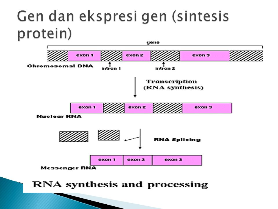 Gen dan ekspresi gen (sintesis protein)