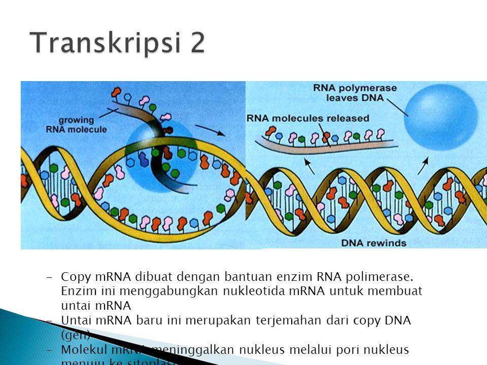 Transkripsi 2 Copy mRNA dibuat dengan bantuan enzim RNA polimerase. Enzim ini menggabungkan nukleotida mRNA untuk membuat untai mRNA.