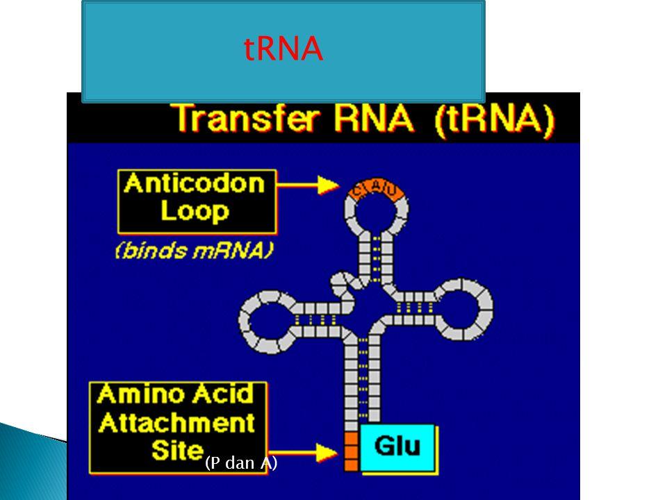tRNA (P dan A)