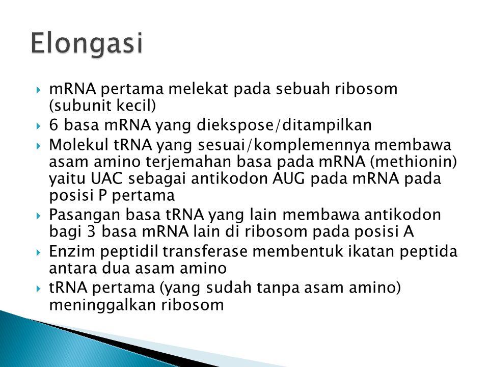 Elongasi mRNA pertama melekat pada sebuah ribosom (subunit kecil)