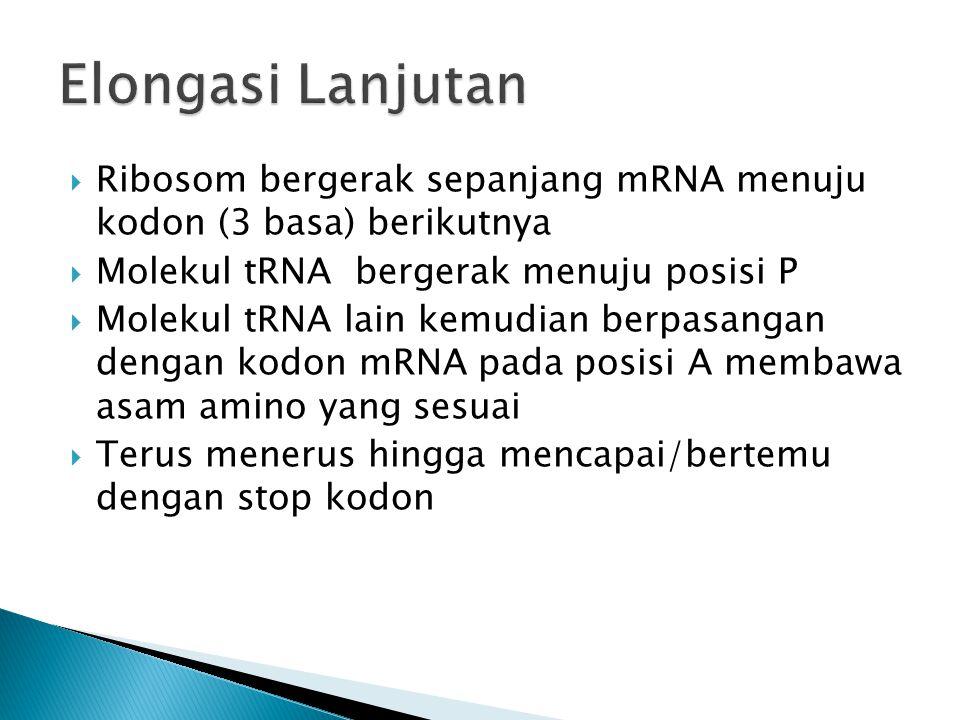 Elongasi Lanjutan Ribosom bergerak sepanjang mRNA menuju kodon (3 basa) berikutnya. Molekul tRNA bergerak menuju posisi P.