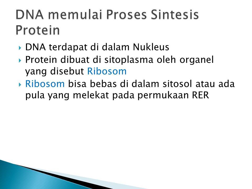 DNA memulai Proses Sintesis Protein