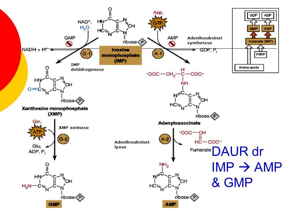 DAUR dr IMP  AMP & GMP Adenilosuksinat synthetase IMP dehidrogenase