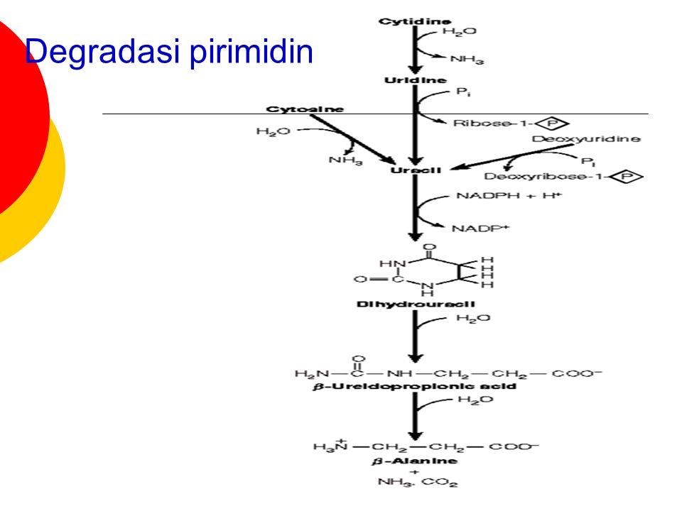 Degradasi pirimidin
