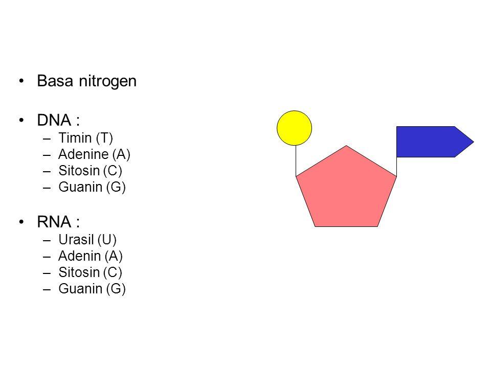 Basa nitrogen DNA : RNA : Timin (T) Adenine (A) Sitosin (C) Guanin (G)