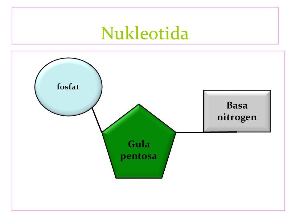 Nukleotida fosfat Basa nitrogen Gula pentosa
