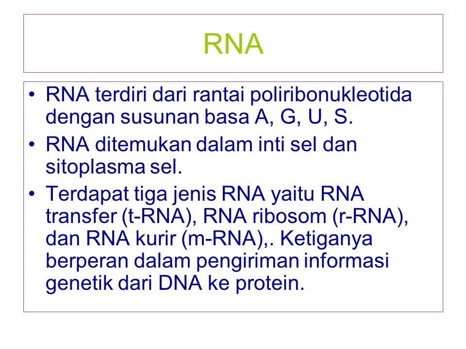 RNA RNA terdiri dari rantai poliribonukleotida dengan susunan basa A, G, U, S. RNA ditemukan dalam inti sel dan sitoplasma sel.