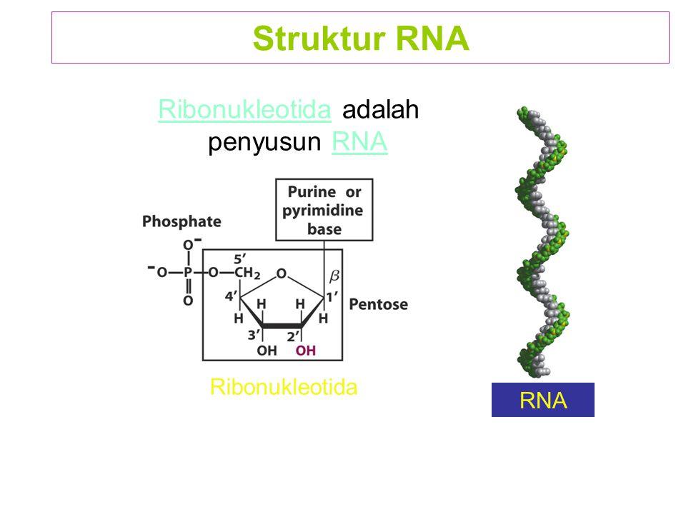 Ribonukleotida adalah penyusun RNA