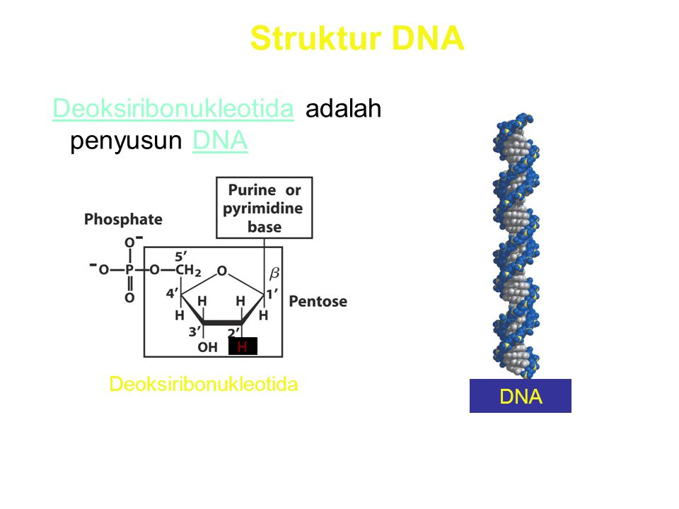 Struktur DNA Deoksiribonukleotida adalah penyusun DNA