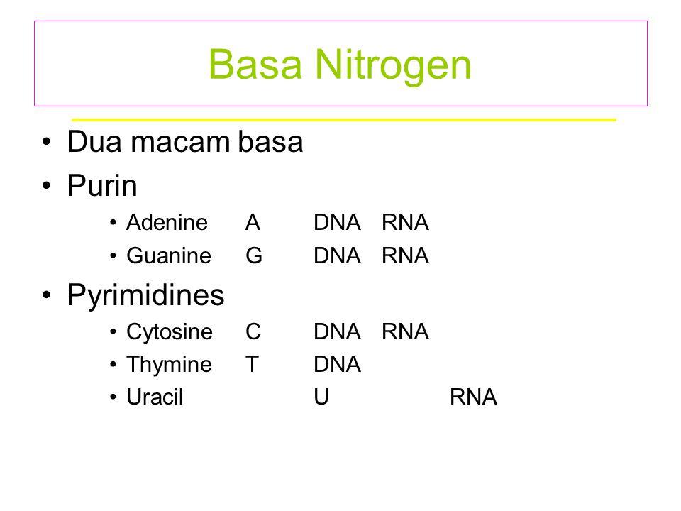 Basa Nitrogen Dua macam basa Purin Pyrimidines Adenine A DNA RNA