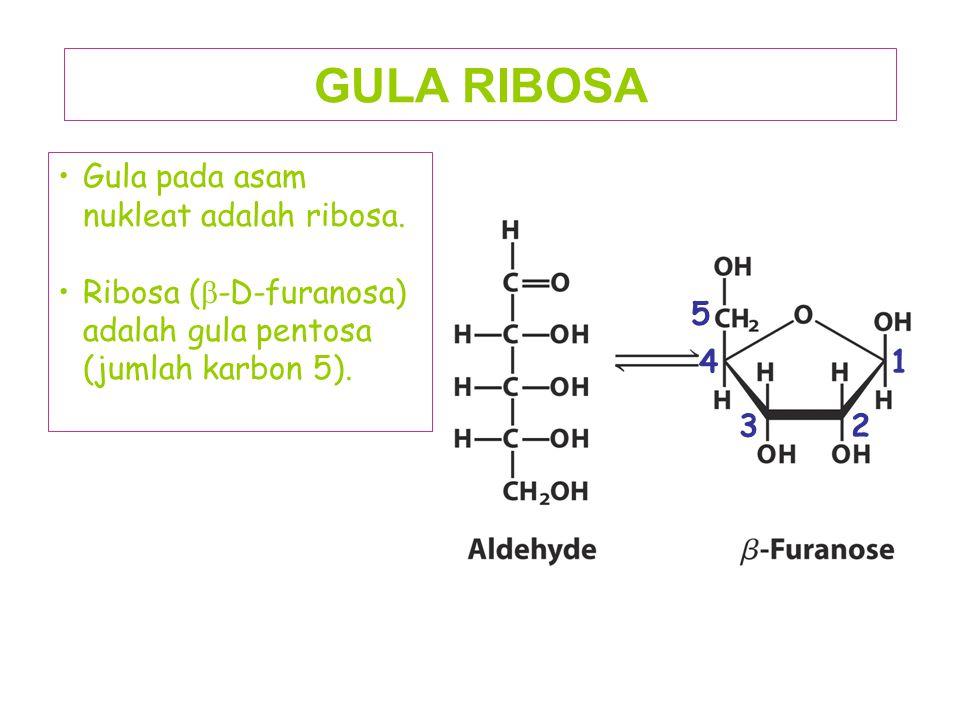 GULA RIBOSA Gula pada asam nukleat adalah ribosa.