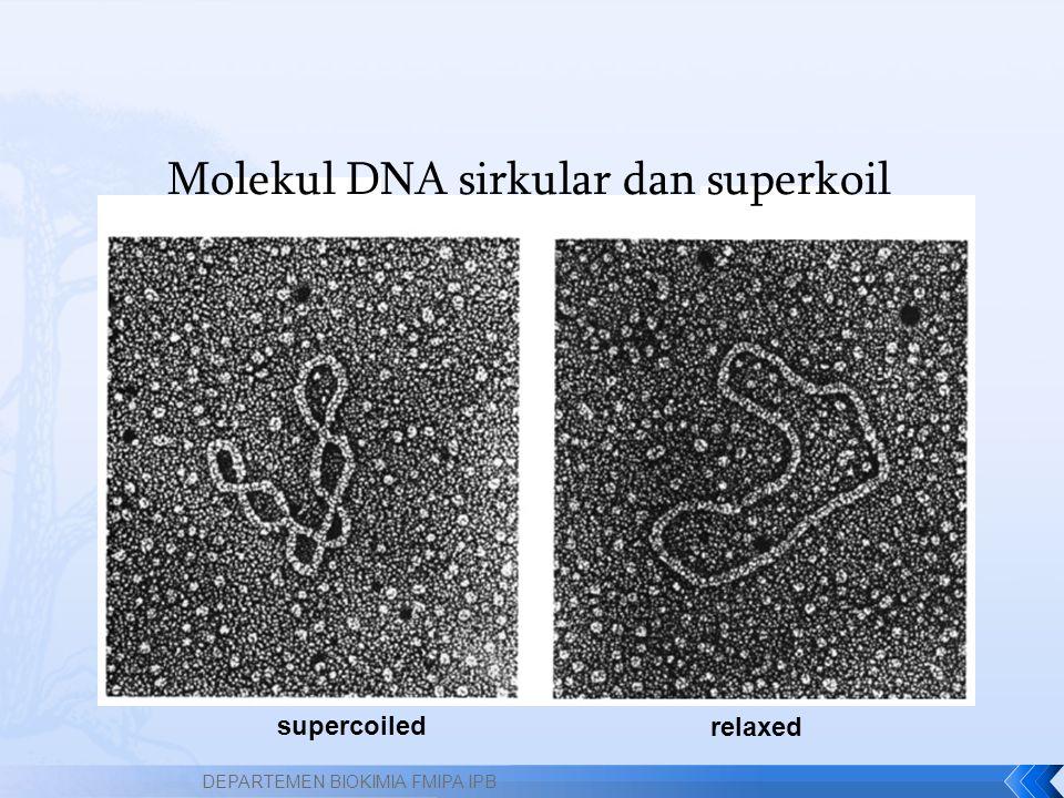 Molekul DNA sirkular dan superkoil