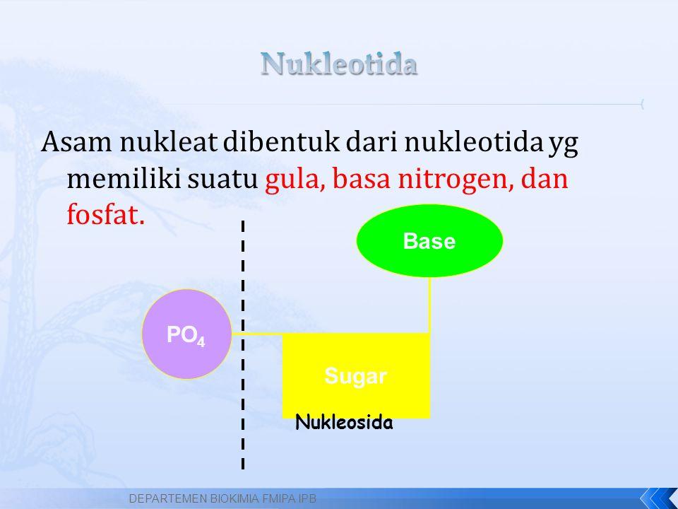 Nukleotida Asam nukleat dibentuk dari nukleotida yg memiliki suatu gula, basa nitrogen, dan fosfat.