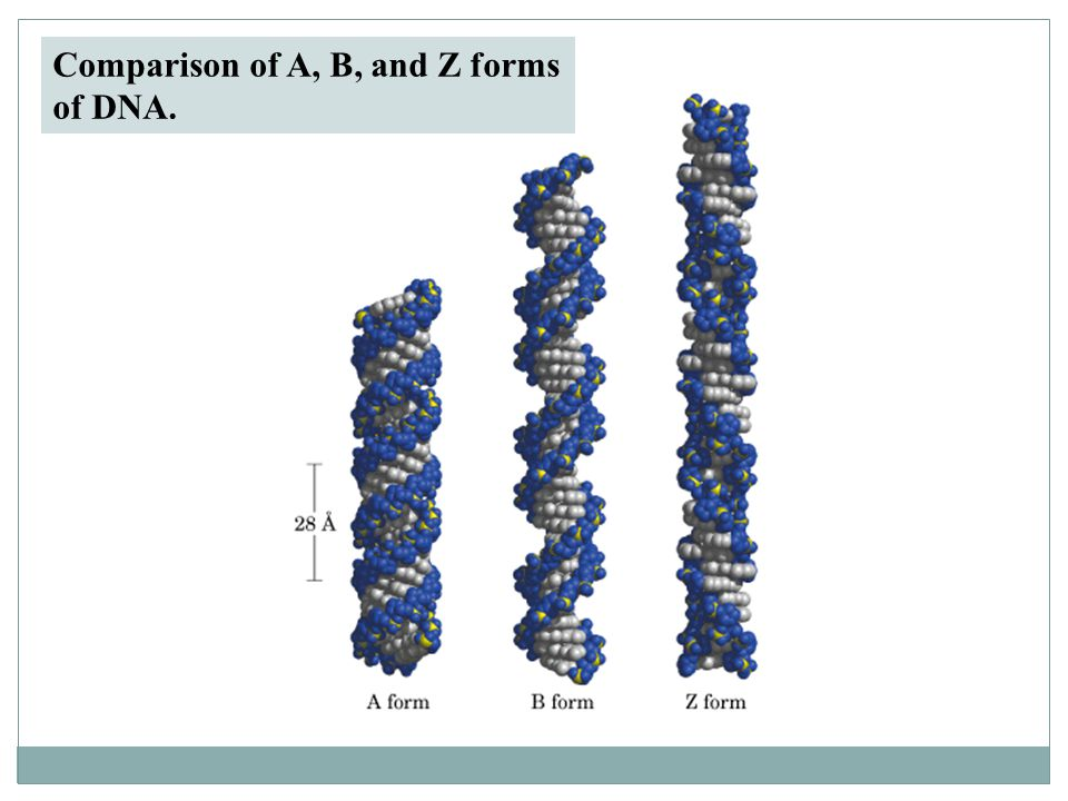 Comparison of A, B, and Z forms of DNA.