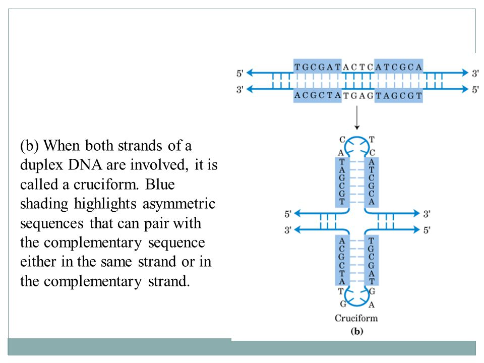 (b) When both strands of a duplex DNA are involved, it is called a cruciform.