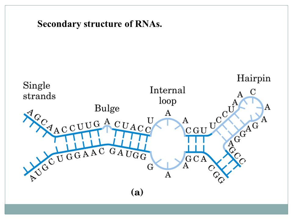 Secondary structure of RNAs.