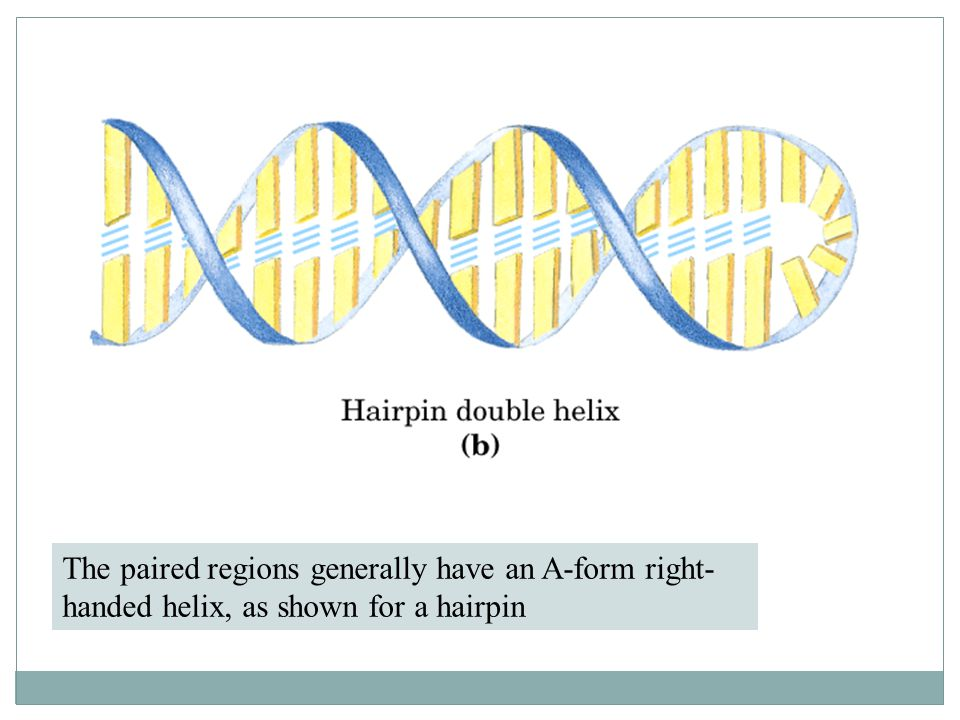 The paired regions generally have an A-form right-handed helix, as shown for a hairpin