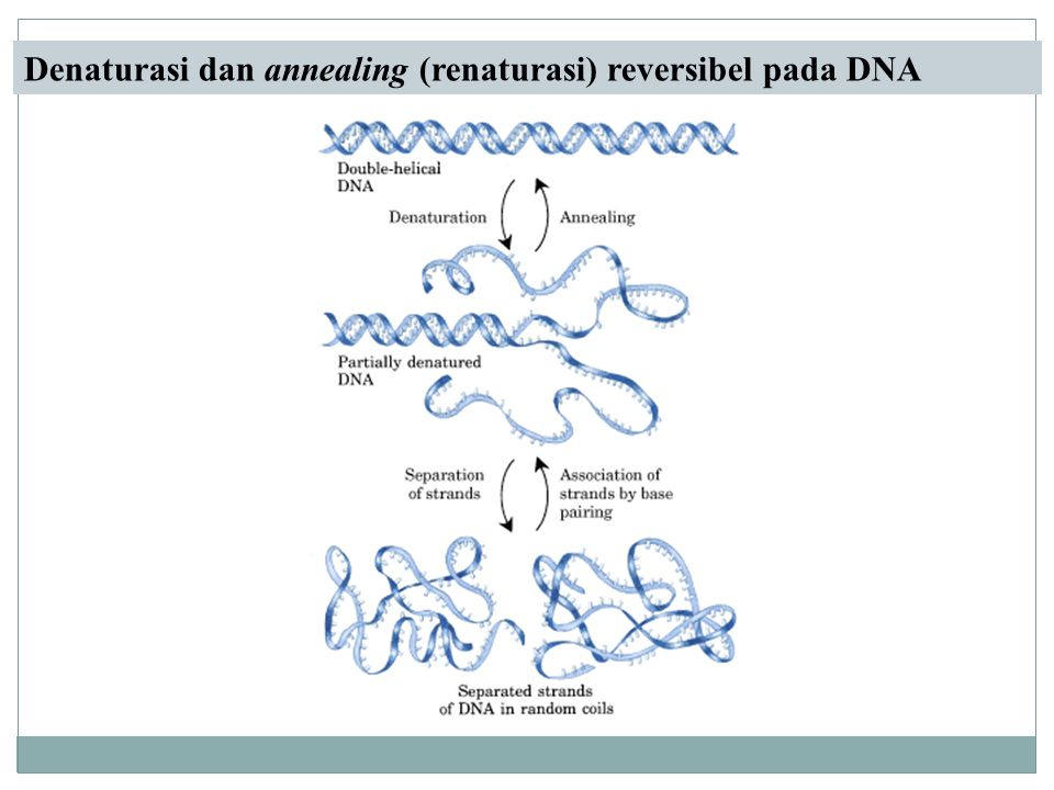 Denaturasi dan annealing (renaturasi) reversibel pada DNA