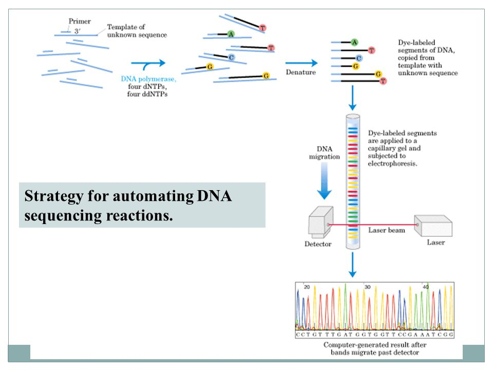 Strategy for automating DNA sequencing reactions.
