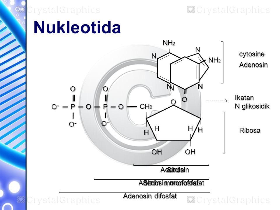 Nukleotida N NH2 cytosine N O NH2 Adenosin O O Ikatan N glikosidik O