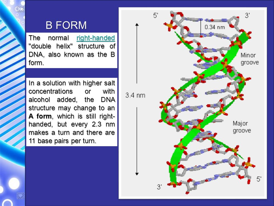 B FORM The normal right-handed double helix structure of DNA, also known as the B form.