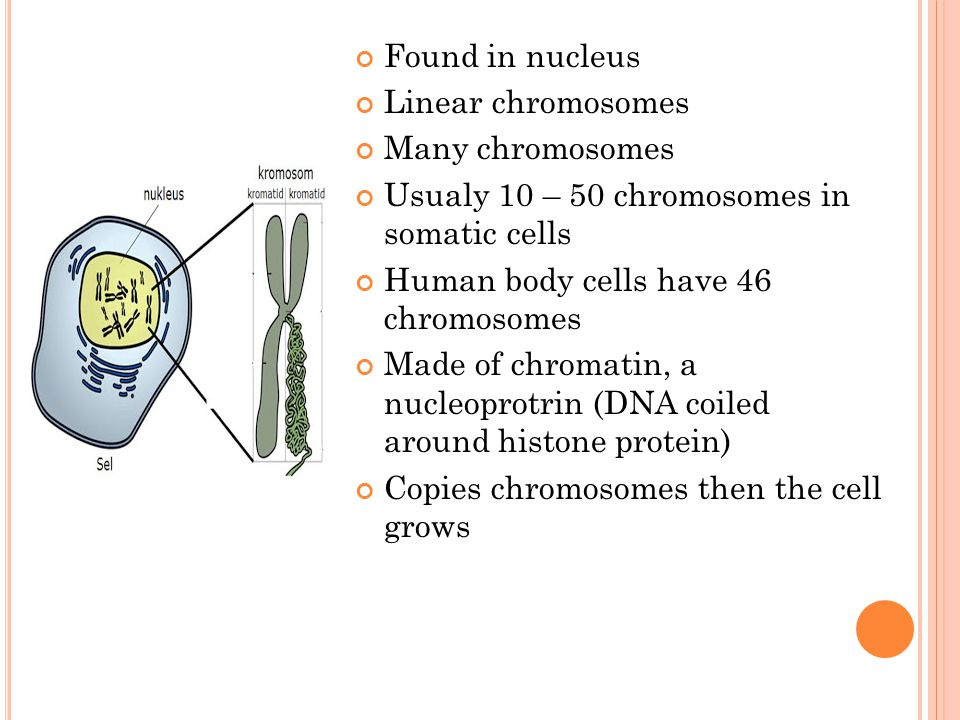 Found in nucleus Linear chromosomes. Many chromosomes. Usualy 10 – 50 chromosomes in somatic cells.