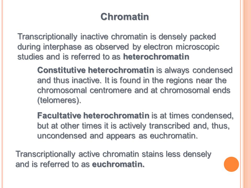 Chromatin Transcriptionally inactive chromatin is densely packed during interphase as observed by electron microscopic.
