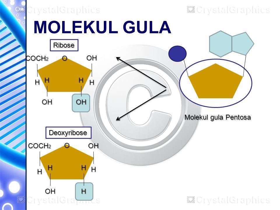 MOLEKUL GULA Ribose COCH2 O OH H H H H OH OH Molekul gula Pentosa