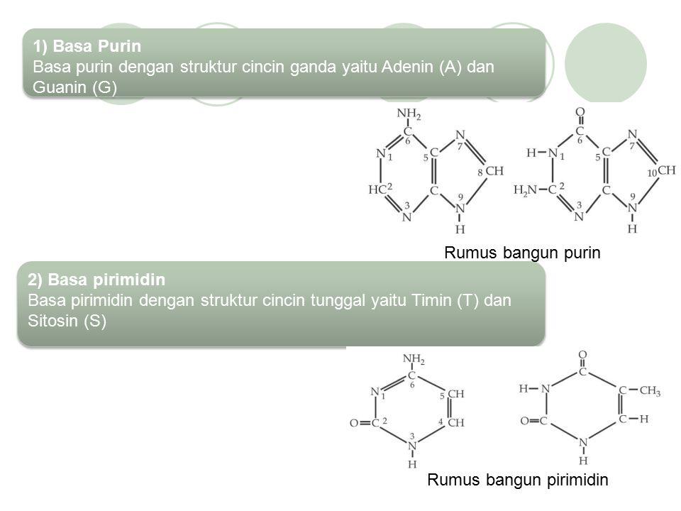 1) Basa Purin Basa purin dengan struktur cincin ganda yaitu Adenin (A) dan Guanin (G)
