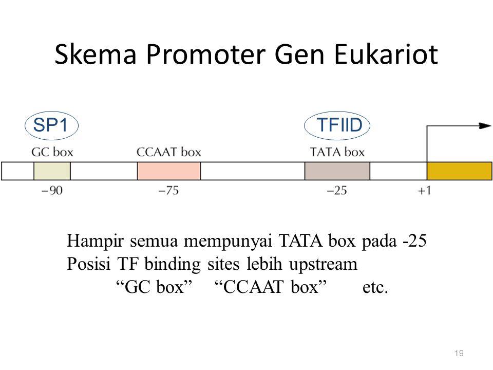 Skema Promoter Gen Eukariot