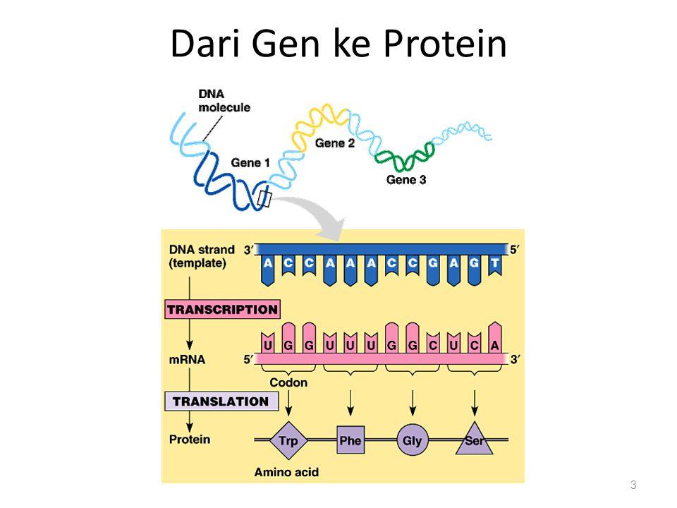 Dari Gen ke Protein