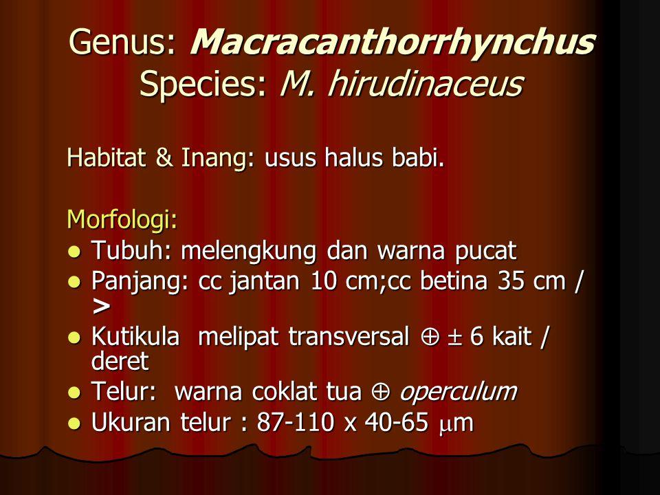 Genus: Macracanthorrhynchus Species: M. hirudinaceus